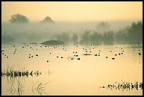 Fog  and water birds, Kern National Wildlife Refuge. California, USA