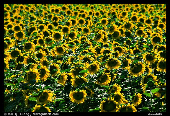 Sunflowers, Central Valley. California, USA