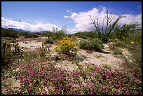Desert wildflowers and Ocatillo. Anza Borrego Desert State Park, California, USA (color)