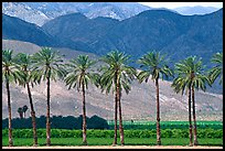 Palm trees and fields in oasis, Imperial Valley. California, USA ( color)