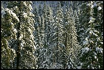 Snowy pine trees, Eldorado National Forest. California, USA ( color)