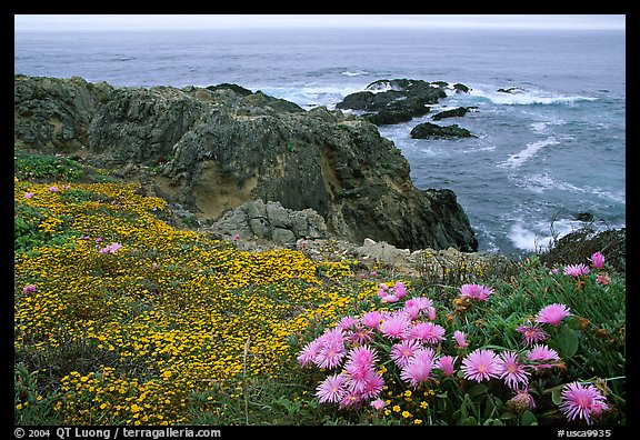 Pink iceplant and small yellow flowers on a coast bluff, Mendocino. California, USA