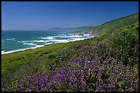 Purple wildflowers and Ocean near Fort Bragg. Fort Bragg, California, USA ( color)