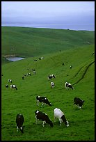 Cows in green pastures near Drakes Estero. Point Reyes National Seashore, California, USA