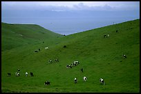 Cows on green hills near Drakes Estero. Point Reyes National Seashore, California, USA (color)