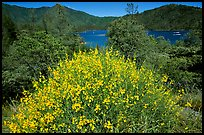 Bush in bloom with yellow flowers, and Shasta Lake criscrossed by watercrafts. California, USA ( color)