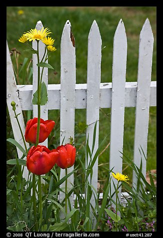 Flowers and white fence, Old Saybrook. Connecticut, USA