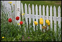 Tulips and white picket fence, Old Saybrook. Connecticut, USA (color)