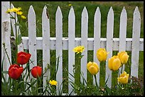 Yellow and red tulips, white picket fence, Old Saybrook. Connecticut, USA (color)