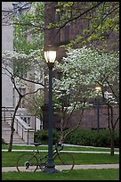Street lamp and dogwoods in bloom, Essex. Yale University, New Haven, Connecticut, USA (color)