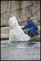 Beluga whale jumping out of water during feeding session. Mystic, Connecticut, USA (color)