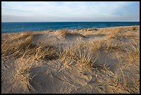Dune grass, late afternoon, Race Point Beach, Cape Cod National Seashore. Cape Cod, Massachussets, USA