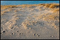 Animal tracks in the sand, Race Point Beach, Cape Cod National Seashore. Cape Cod, Massachussets, USA (color)