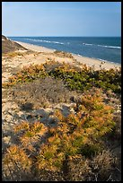 Dune vegetation, Cape Cod National Seashore. Cape Cod, Massachussets, USA