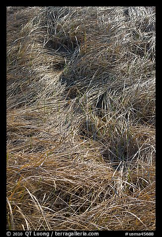 Grass curled by wind, Cape Cod National Seashore. Cape Cod, Massachussets, USA (color)