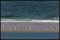 Sand bar with seabirds, Cape Cod National Seashore. Cape Cod, Massachussets, USA