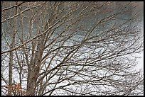 Bare branches, Sandwich. Cape Cod, Massachussets, USA