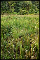 Tall grasses in meadow, Minute Man National Historical Park. Massachussets, USA ( color)
