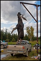 Huge moose lifted from truck for weighting, Kokadjo. Maine, USA (color)
