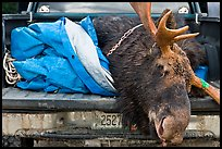 Large killed moose in back of truck, Kokadjo. Maine, USA (color)