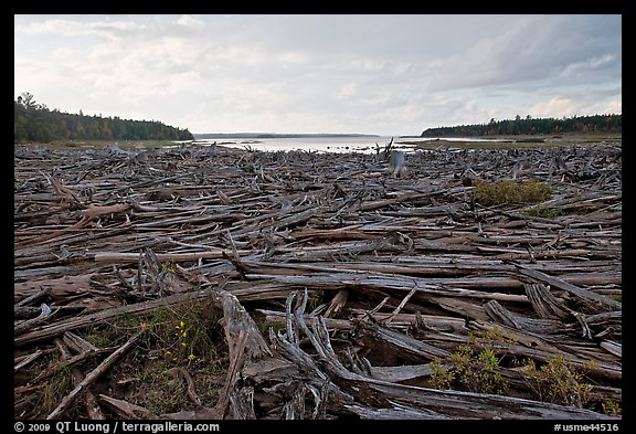Dead trees on the shore of Chesunkunk Lake. Maine, USA
