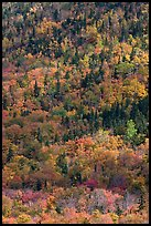 Mix of evergreens and trees in autumn foliage on slope. Baxter State Park, Maine, USA (color)