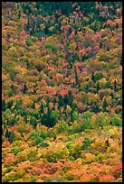Aerial view of deciduous trees in fall foliage mixed with evergreen. Baxter State Park, Maine, USA ( color)