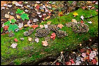 Mushrooms growing on moss-covered log in autumn. Allagash Wilderness Waterway, Maine, USA (color)