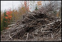 Pile of cut branches. Maine, USA ( color)