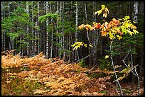 Ferns and forest on glacial esker. Katahdin Woods and Waters National Monument, Maine, USA ( )