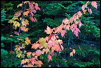 Orange mapple leaves and spruce. Katahdin Woods and Waters National Monument, Maine, USA ( color)