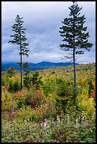 Two spruce trees amongst northern hardwood forest in autumn. Katahdin Woods and Waters National Monument, Maine, USA ( )