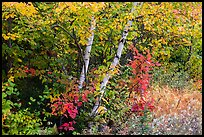 Early forest in autumn with colorful leaves. Katahdin Woods and Waters National Monument, Maine, USA ( )