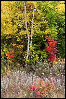 Birch and maple in early growth successional forest. Katahdin Woods and Waters National Monument, Maine, USA ( color)