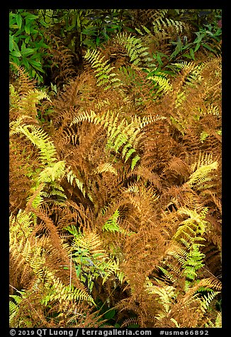 Ferns in autumn. Katahdin Woods and Waters National Monument, Maine, USA (color)