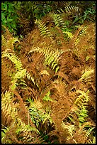 Ferns in autumn. Katahdin Woods and Waters National Monument, Maine, USA ( )