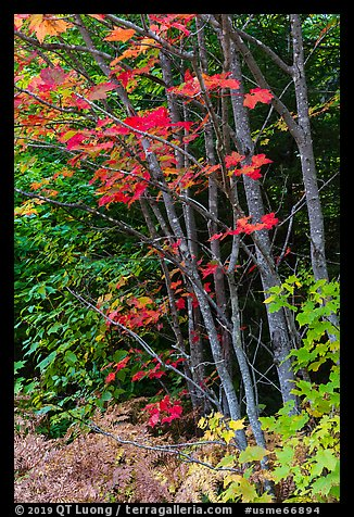 Maple with red leaves. Katahdin Woods and Waters National Monument, Maine, USA (color)