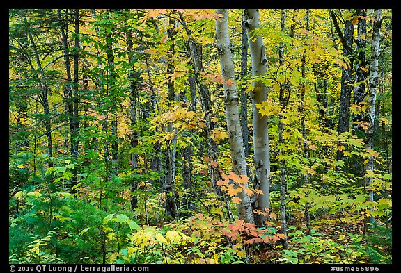 Deciduous northern hardwood forest in autumn. Katahdin Woods and Waters National Monument, Maine, USA (color)