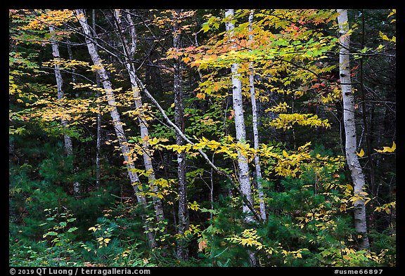 Early forest with birch trees in autumn. Katahdin Woods and Waters National Monument, Maine, USA (color)