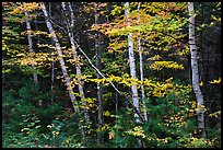 Early forest with birch trees in autumn. Katahdin Woods and Waters National Monument, Maine, USA ( )