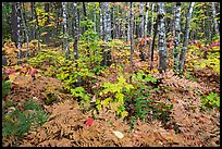 Deciduous northern hardwood forest with lush and colorful undergrowth in autumn. Katahdin Woods and Waters National Monument, Maine, USA ( )