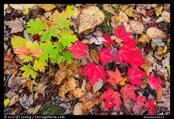 Close-up of autumn leaves. Katahdin Woods and Waters National Monument, Maine, USA (color)