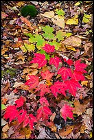Red and green leaves on forest floor. Katahdin Woods and Waters National Monument, Maine, USA ( )