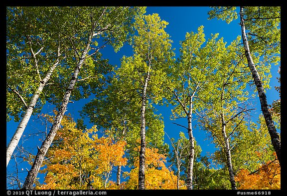 Autumn aspen and blue sky. Katahdin Woods and Waters National Monument, Maine, USA (color)