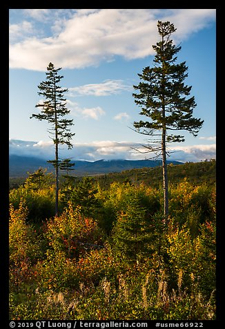 Two spruce trees standing tall above early hardwoods. Katahdin Woods and Waters National Monument, Maine, USA (color)