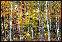 Birch trees and colorful autumn foliage. Katahdin Woods and Waters National Monument, Maine, USA ( )