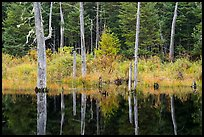 Dead trees reflected in Fist Marsh. Katahdin Woods and Waters National Monument, Maine, USA ( color)