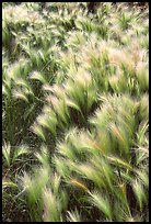 Barley grass and wind. North Dakota, USA