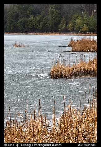 Reeds and frozen pond. Walpole, New Hampshire, USA (color)