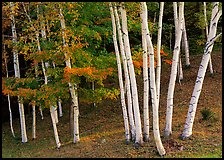 Birch trees. Vermont, New England, USA ( color)
